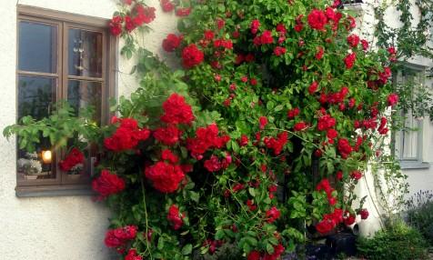 Vacker rosvägg